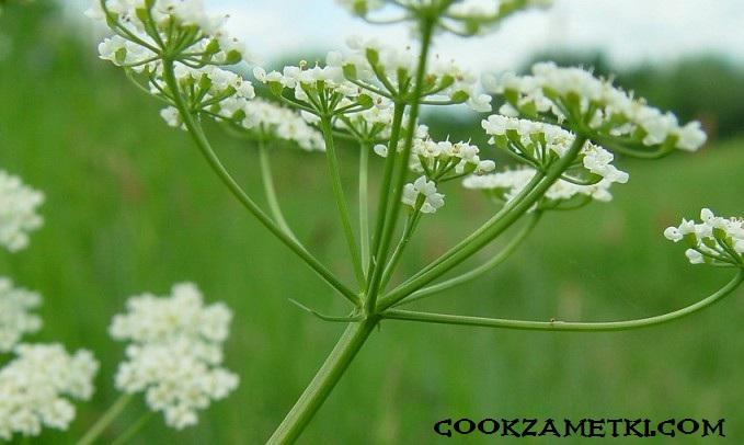 svoystva-i-primenenie-azhgona-v-kulinarii-i-medicine-2