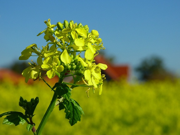 mustard-1750267_1280